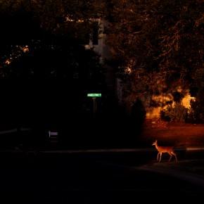 deer in the city